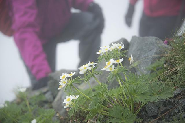 ハクサンイチゲと登山者