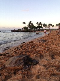 ハワイ 海がめ