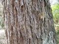 800px-Choerospondias_axillaris1[1]