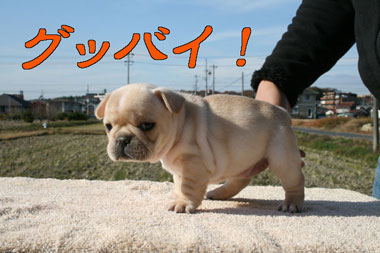 frenchibulldog