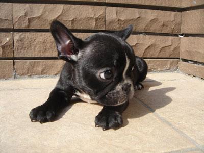 FREBULL 子犬