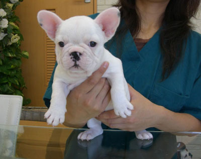frenchbulldog puppy