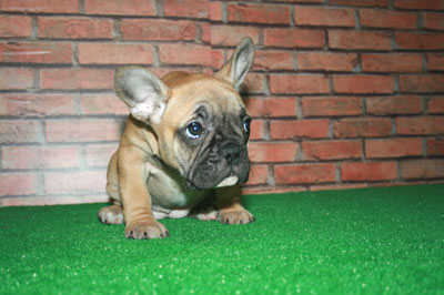 Frenchbulldog 子犬