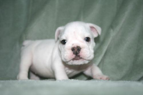 bulldog 子犬