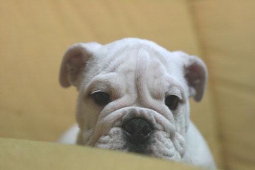 ブルドッグ 子犬