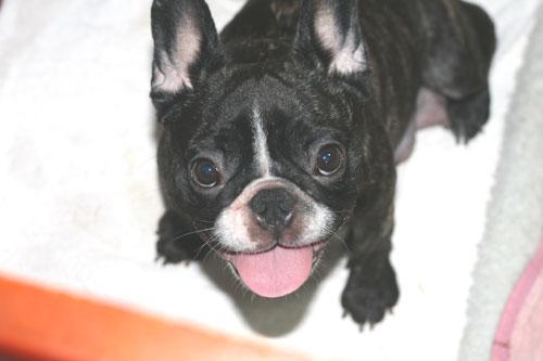 フレンチブルドッグ 子犬