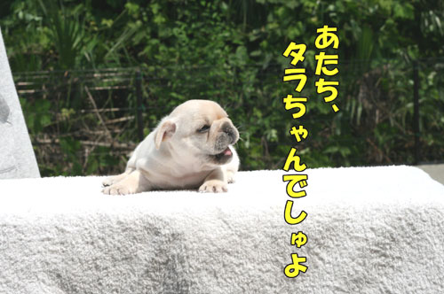 フレブル子犬1