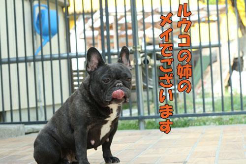 Frenchbulldog1