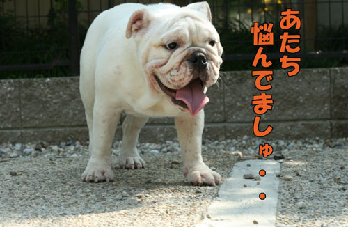 Frenchbulldog2