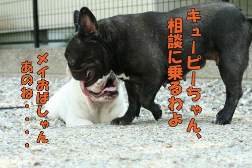 Frenchbulldog3