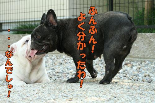 Frenchbulldog4
