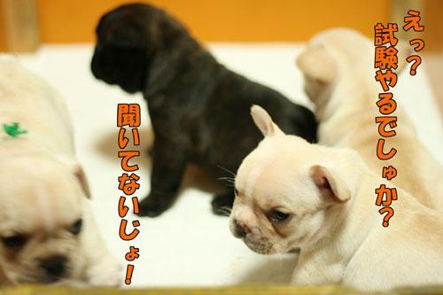 フレンチブルドッグ 子犬d1