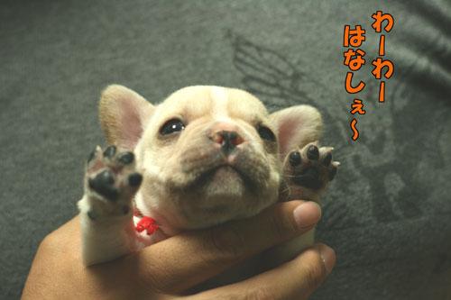 フレンチブルドッグ 子犬d2