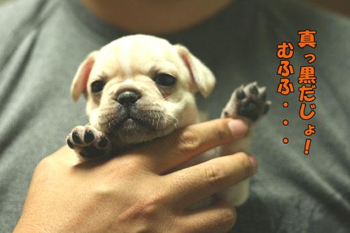 フレンチブルドッグ 子犬d4