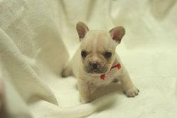 フレンチブルドッグ 子犬b4