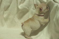 フレンチブルドッグ 子犬b3