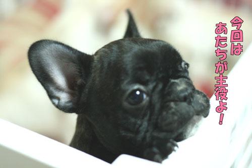 フレンチブルドッグ子犬1