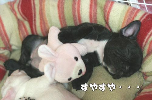 フレンチブルドッグ子犬3