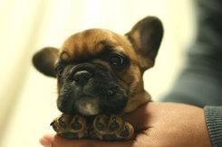 フレンチブルドッグ 子犬1a