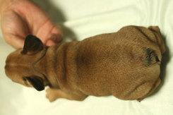 フレンチブルドッグ 子犬1c