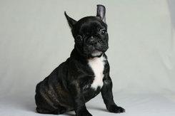フレンチブルドッグ 子犬1