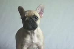フレンチブルドッグ 子犬2
