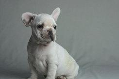フレンチブルドッグ 子犬3