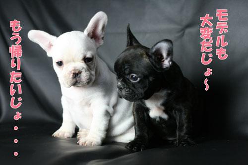 フレンチブルドッグ 子犬5