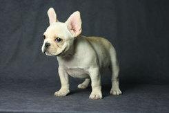 フレンチブルドッグ 子犬 1b