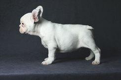 フレンチブルドッグ 子犬 3b