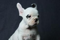 フレンチブルドッグ 子犬 3d