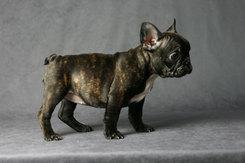 フレンチブルドッグ 子犬 4a