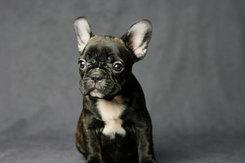 フレンチブルドッグ 子犬 4d