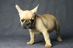 フレンチブルドッグ 子犬 5b
