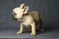 フレンチブルドッグ 子犬 5c