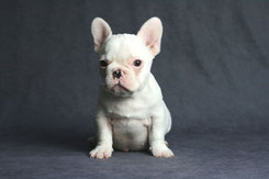 フレンチブルドッグ 子犬 6a