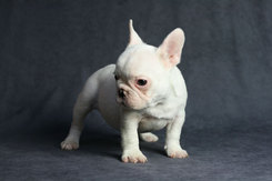 フレンチブルドッグ 子犬 6b