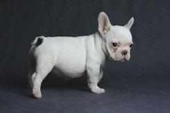 フレンチブルドッグ 子犬 6c