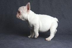 フレンチブルドッグ 子犬 6d