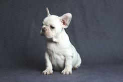 フレンチブルドッグ 子犬 10a