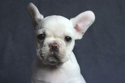 フレンチブルドッグ 子犬 10b