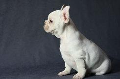 フレンチブルドッグ 子犬 10c