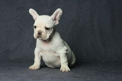 フレンチブルドッグ 子犬 10d