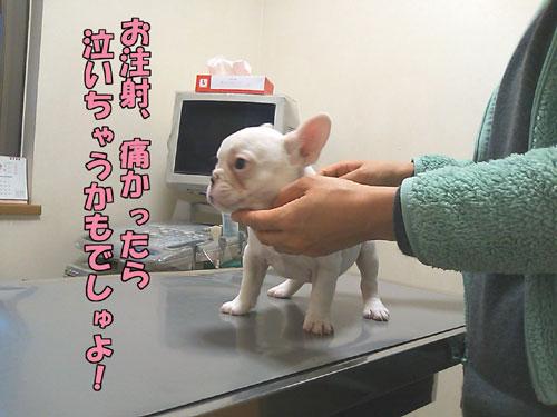 フレンチブルドッグ 子犬4