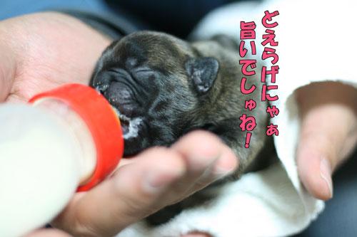 フレンチブルドッグ puppy 1