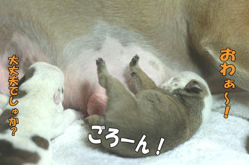ブルドッグ 子犬 4