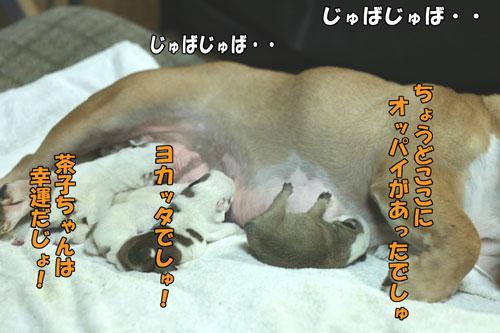 ブルドッグ 子犬 5