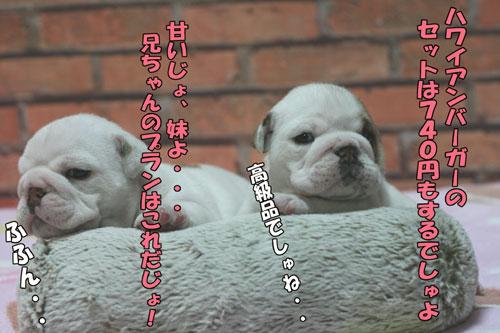 ブルドッグ 子犬 3