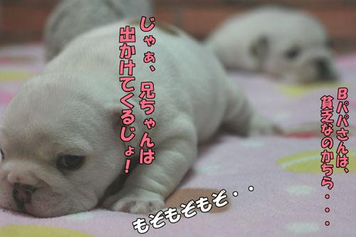 ブルドッグ 子犬 7