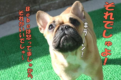 フレンチブルドッグ Bebe 2